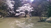Ikezakura